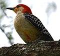Red Bellied Woodpecker (162785381).jpeg