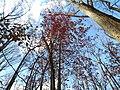 Red Maple (31075875885).jpg
