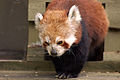 Red Panda (4629452591).jpg