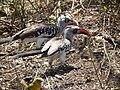 Red billed hornbill Tockus erythrorhynchus in Tanzania 3661 Nevit.jpg