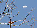 Red bird and moon (8394360328).jpg