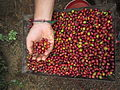 Red coffee beans.jpg