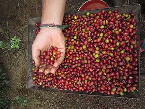 Coffee production in Tanzania - Image: Red coffee beans