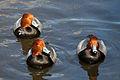 Redhead Ducks Buttonwood Park.jpg