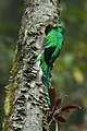 Resplendent Quetzal male at nest - Cloud Forest in Costa Rica S4E9449 (26485502545).jpg