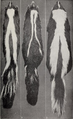 Revision of the skunks of the genus Chincha (1901) pl. 3.png