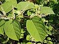 Reynoutria japonica flower (27).jpg