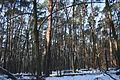 Rezerwat Kolno Międzychodzkie grąd zniekształcony nasadzeniami sosny (0).jpg