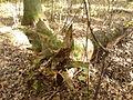 Rezerwat przyrody Dęby w Meszczach 12.43.jpg
