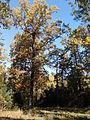 Rezerwat przyrody Dęby w Meszczach 201012 11.49.jpg
