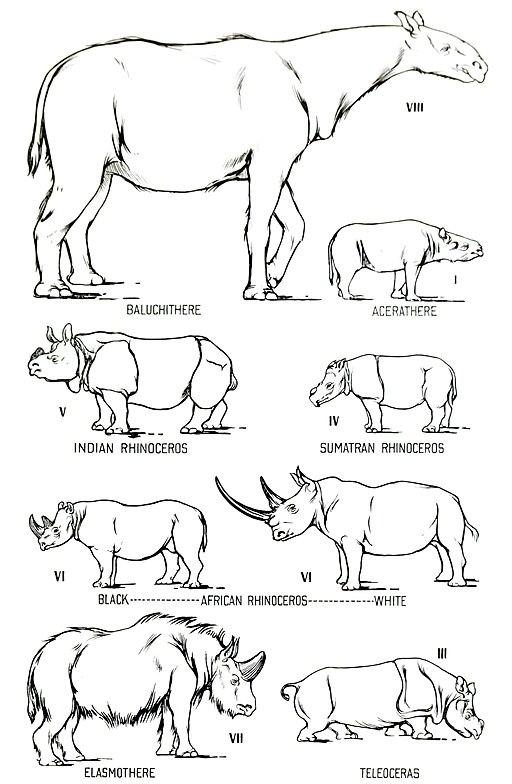 Rhino size comparison
