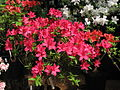 Rhododendron 'Ernst Thiers' 02.JPG