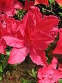 Rhododendron 'Ernst Thiers' 04.JPG