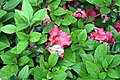 Rhododendron Hahns Red 2zz.jpg