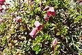 Rhododendron campylogynum kz04.jpg