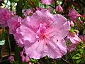 Rhododendron cv. 003.JPG