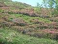 Rhododendron ferrugineum Pyrenees1.jpg