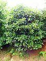 Rhododendron ponticum 01.JPG