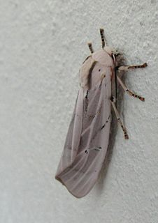 <i>Rhodogastria amasis</i> species of insect