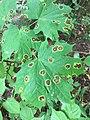 Rhytisma acerinum 151854716.jpg