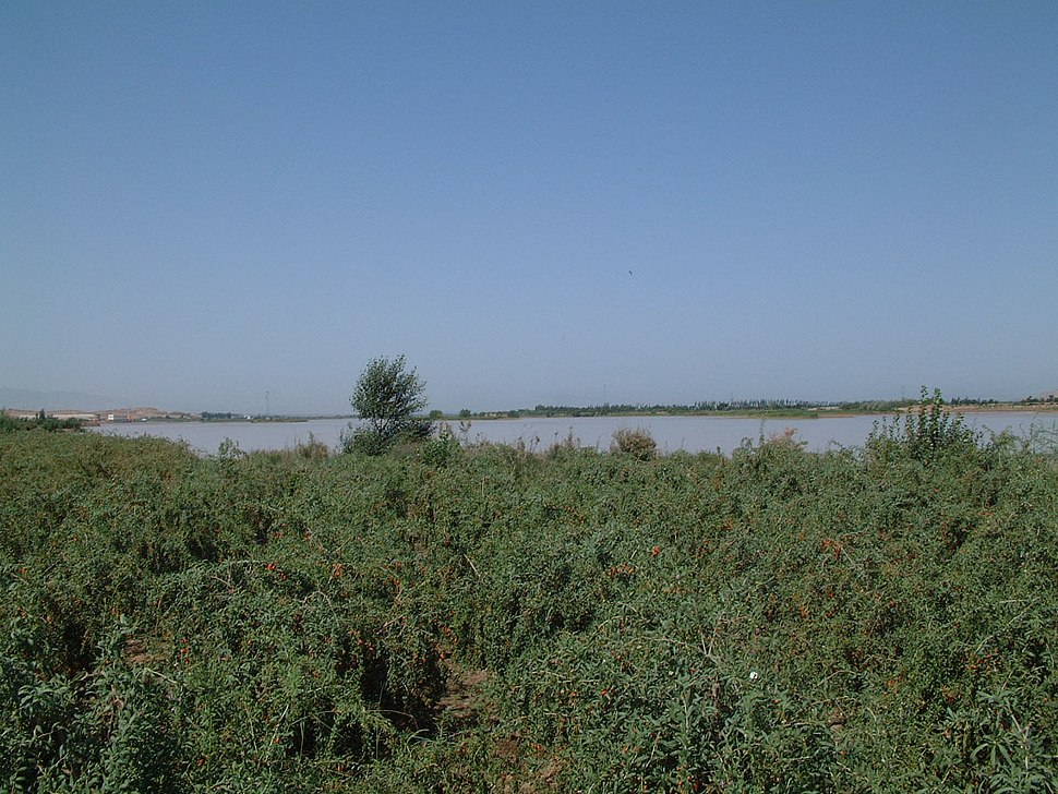Wolfberry fields in Zhongning County, Zhongwei City