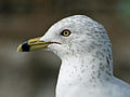 Ring-billed Gull (Larus delawarensis) RWD3.jpg