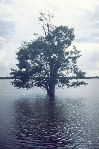 Araguaia River - A tree in the Araguaia National Park in flood season