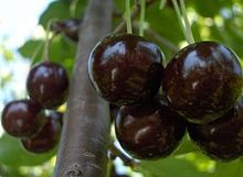 Serbian morello cherry seeds (Prunus cerasus)