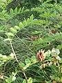 Robinia pseudoacacia, Fabaceae 02.jpg