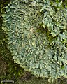 Rock Greenshield Lichen (4504877868).jpg