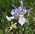Rocky Mountain iris - Flickr - brewbooks.jpg