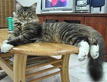 кошки мейн кун фото - фотография 6.