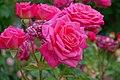Rosa 'McGredy's Pink' at Ishida Rose Garden in Odate, Akita, Japan.jpg