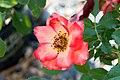 Rosa Betty Boop 6zz.jpg