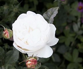 Rosa Winchester Cathedral.jpg