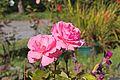 Rosa rosa - Pink rose - 05.jpg