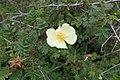 Rosa xanthina f. hugonis kz04.jpg