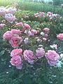 Rosales - Rosa cultivars 5 - 2011.07.11.jpg