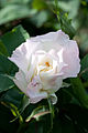 Rose, Hakkoda - Flickr - nekonomania (2).jpg