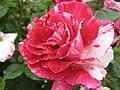 Rose Flowers.JPG
