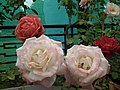 Rose from Lalbagh flower show Aug 2013 8509.JPG