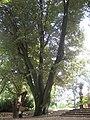 Rosengarten Forst, markante Silber-Linde westlich des Jubiläumsgartens, Sommer, 01.jpg