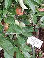Rubinette rosso appel.JPG