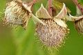 Rubus.idaeus3.-.lindsey.jpg