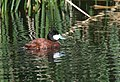 Ruddy Duck (33773030931).jpg