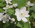 Rue Anemone Thalictrum thalictroides Flower Corrected 2479px.jpg