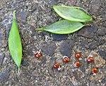 Ruhland, Grenzstr. 3, Hohler Lerchensporn, Schote und Samen, Frühling, 01.jpg