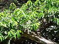 Saba senegalensis 0001.jpg
