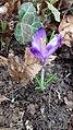 Saffron - Crocus vernus 40.jpg