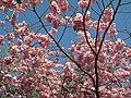 Saint Petersburg. Chinese Garden. Sakura tree2021 16.jpg
